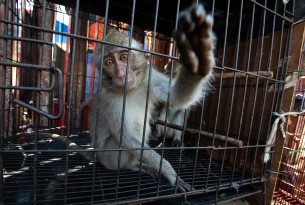 A macaque at a market in Jakarta, Indonesia. Photographer Reference: Aaron Gekoski