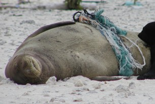 A Hawaiian monk seal entangled in ghost fishing gear with baby seal - Sea change - World Animal Protection