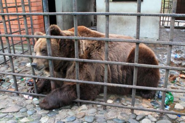 A bear in horrific conditions Sochi, Russia