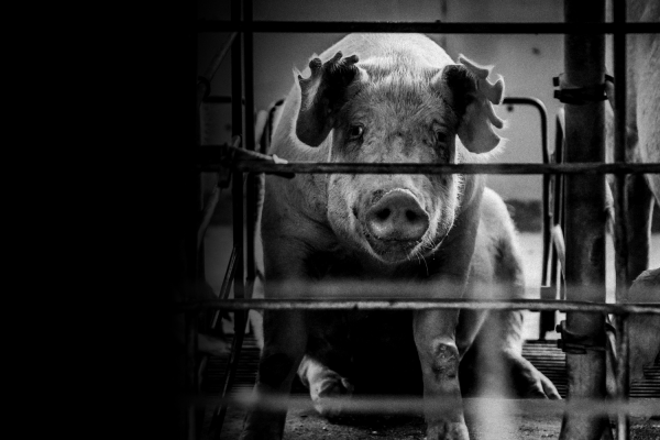 Caged mother pig on a factory farm looking through the bars - World Animal Protection - Wildlife. Not entertainers
