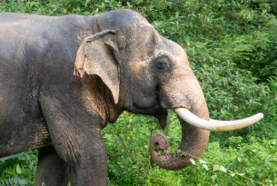 Chok, the 29-year-old male elephant who has lived at Eco-tourism Koh Lanta for more than seven years.