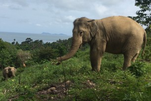 Pictured: One of the rescued elephants at high-welfare venue Following Giants.