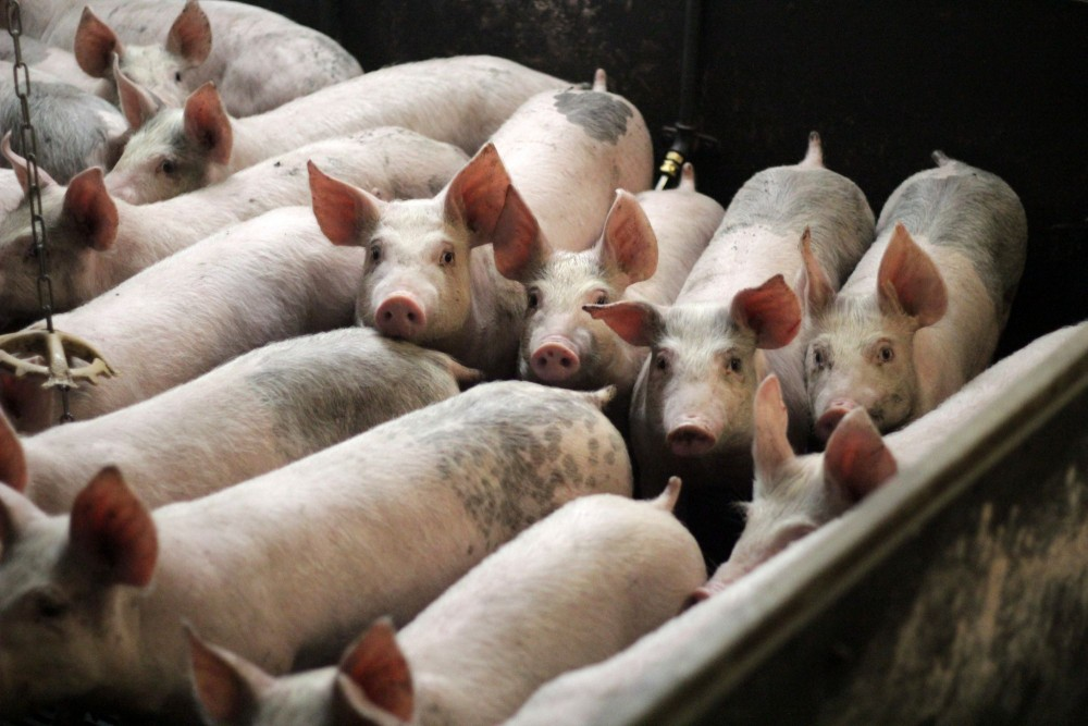 Pigs on a low-welfare farm.