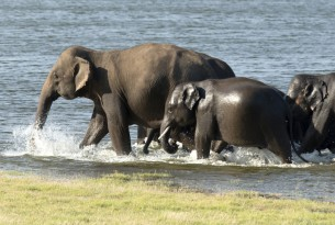 Wild Asian elephants in a national park in Sri Lanka