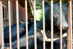 End the use of bear bile in Asian medicine