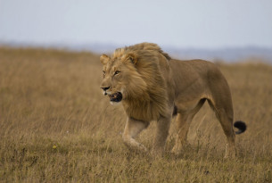 A wild lion stalking in a national park in Africa. iStock. by Getty Images