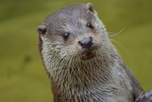 A wild smooth coated otter