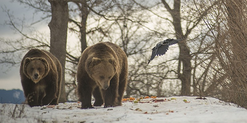 Two brown bears walk next to each other, directed towards the camera. It's winter - the ground is covered in snow and the trees are spoil of leaves. A black bird, perhaps a crow, flies near the bears.