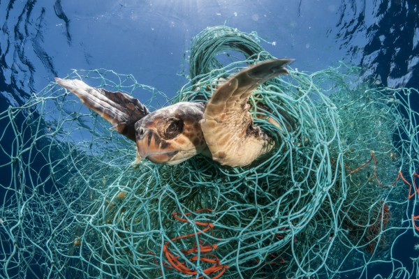 Loggerhead turtle trapped in ghost gear
