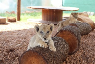 Lion cub at tourist attraction in South Africa - Animals in the wild - World Animal Protection