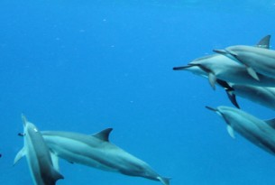 A pod of spinner dolphins off the west coast of Oahu, Hawaii
