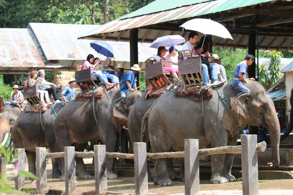 Elephants set off with tourists for a ride.