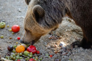 Bear eating fruit
