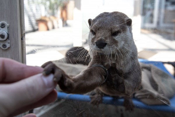 world otter day, wildlife not pets