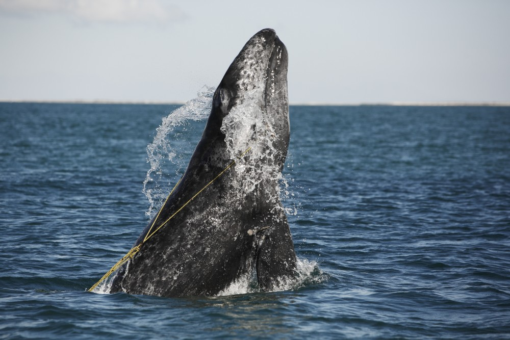A juvenile Gray whale is breaching whilst entangled in a lobster trap line off the coast of Mexico.