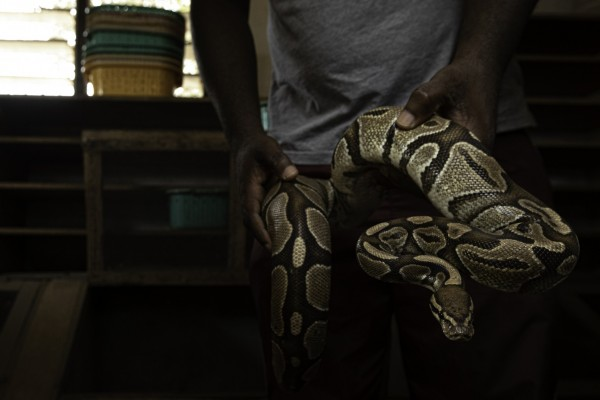 A ball python at a breeder's in Ghana