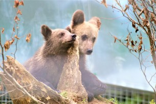 Pictured: Rescued bear cubs Kenya and Bamse at the Romanian sanctuary.