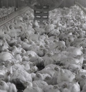 Approximately 28 day old broiler (meat) chickens in a commercial indoor system