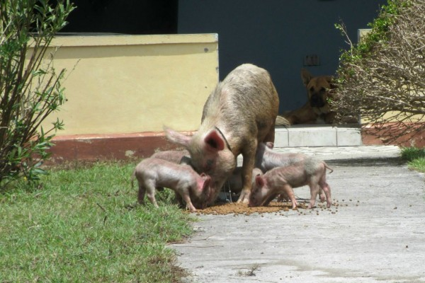 Our partner organisation Antigua and Barbuda Society feeds a desperate sow and her piglets - World Animal Protection - Disaster management