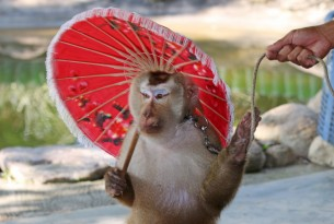 A macaque performs for tourists at an attraction in Thailand
