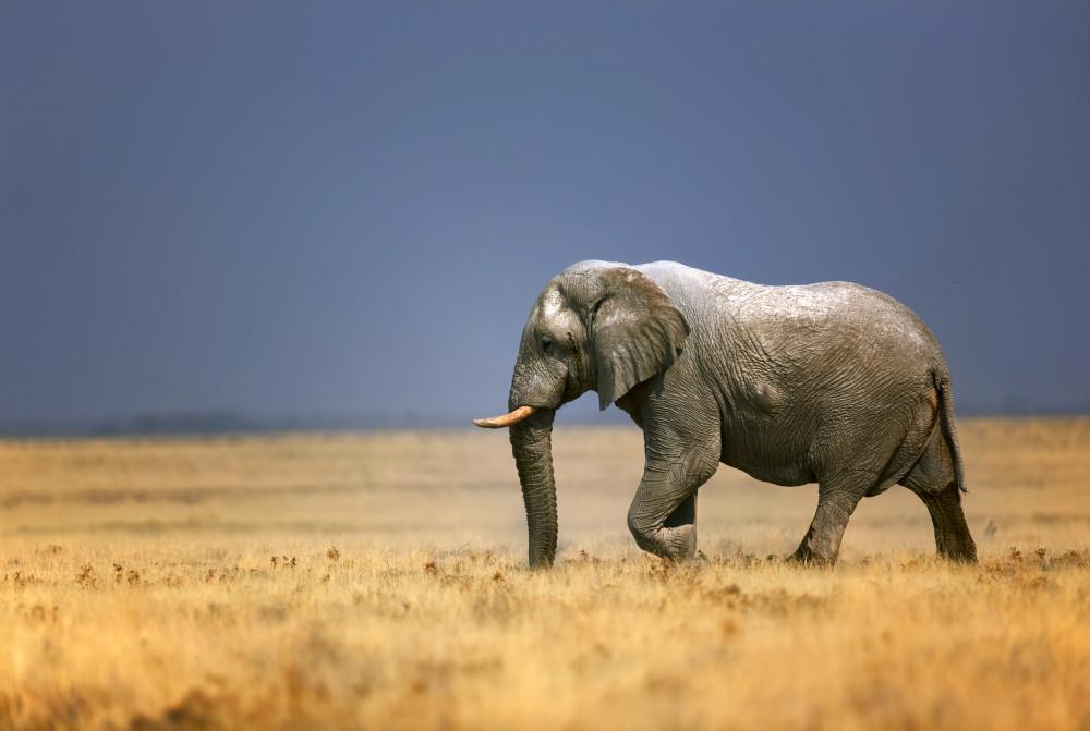 An elephant bull walking in an open plain in Etosha National Park, Namibia