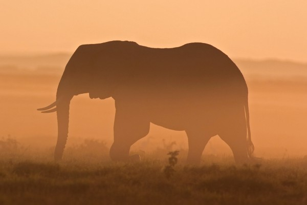 Elephant in Africa at sunset