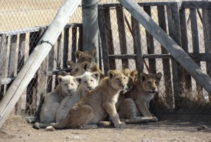 Lion Farm South Africa