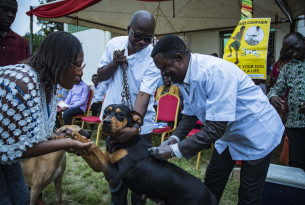 A dog been vaccinated in Ghana
