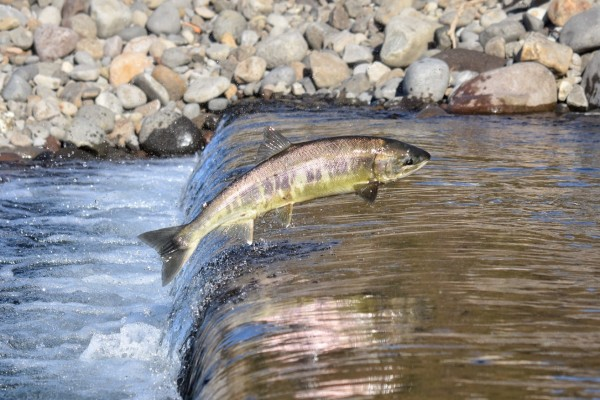 Pictured: A wild salmon swimming upstream. Salmon are migratory and would naturally swim great distances at sea.