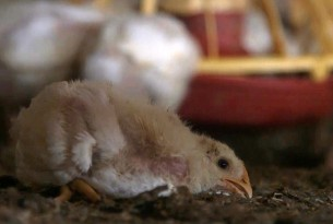 Chicken suffering in factory farm - Animals in farming - World Animal Protection