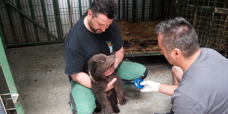 Florin is looking after a newly rescued bear cub. He holds her still while the vet examins her.