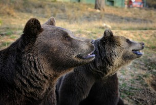 Two bears in closeup