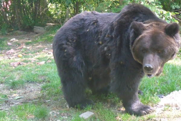 Volunteering with gorgeous bears