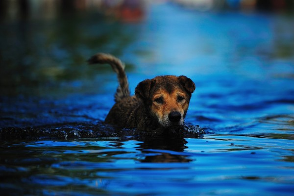 A dog in flood waters