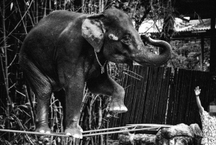 Elephant walking tightrope at cruel wildlife venue - World Animal Protection