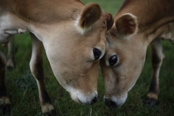 Two Danish Jersey cows at Svanhold Gods organic farm in Denmark.