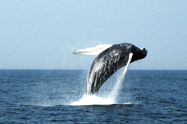 whale, humpback whale, Massachusetts,
