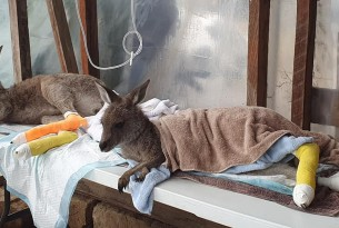 two bandaged kangaroos on table