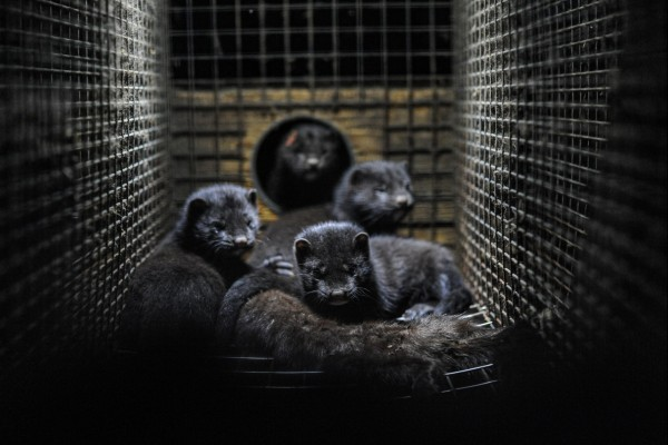 Minks in a cage at a mink farm in Sweden