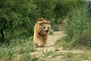 Bhoori the bear safe in Balkasar