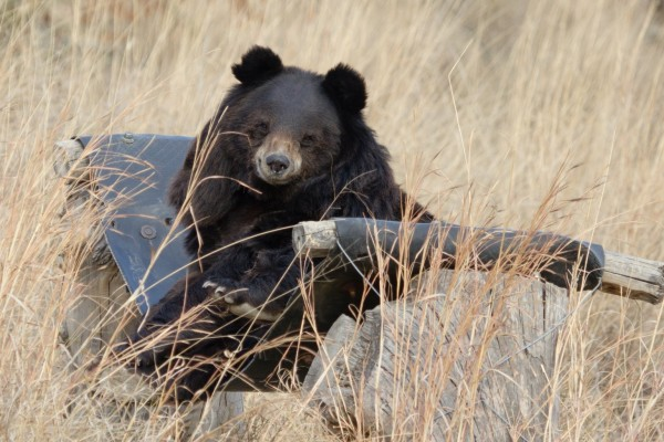 Pictured: bear relaxing at a sanctuary