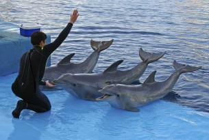 A dolphin trainer instructing dolphins to perform