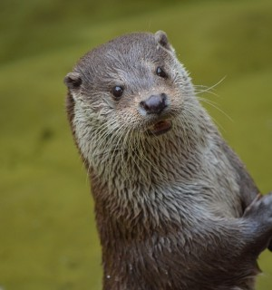 Otter in the wild - Wildlife. Not pets - World Animal Protection