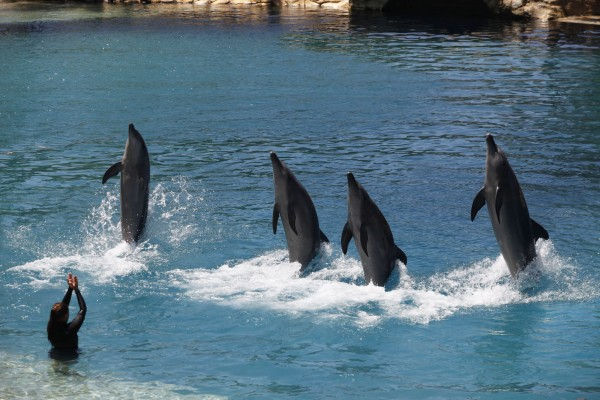 Dolphins leap from pool to perform trick