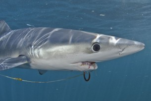UN makes historic commitment to fight Ghost Gear - shark tangled in ghost gear - World Animal Protection - Sea Change