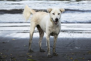 A roaming dog walks along Sanur beach, Bali, in the run up to Balinese New Year.