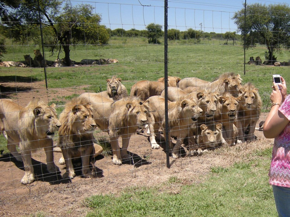 Lions on a farm in South Africa - photo credit: Blood Lions