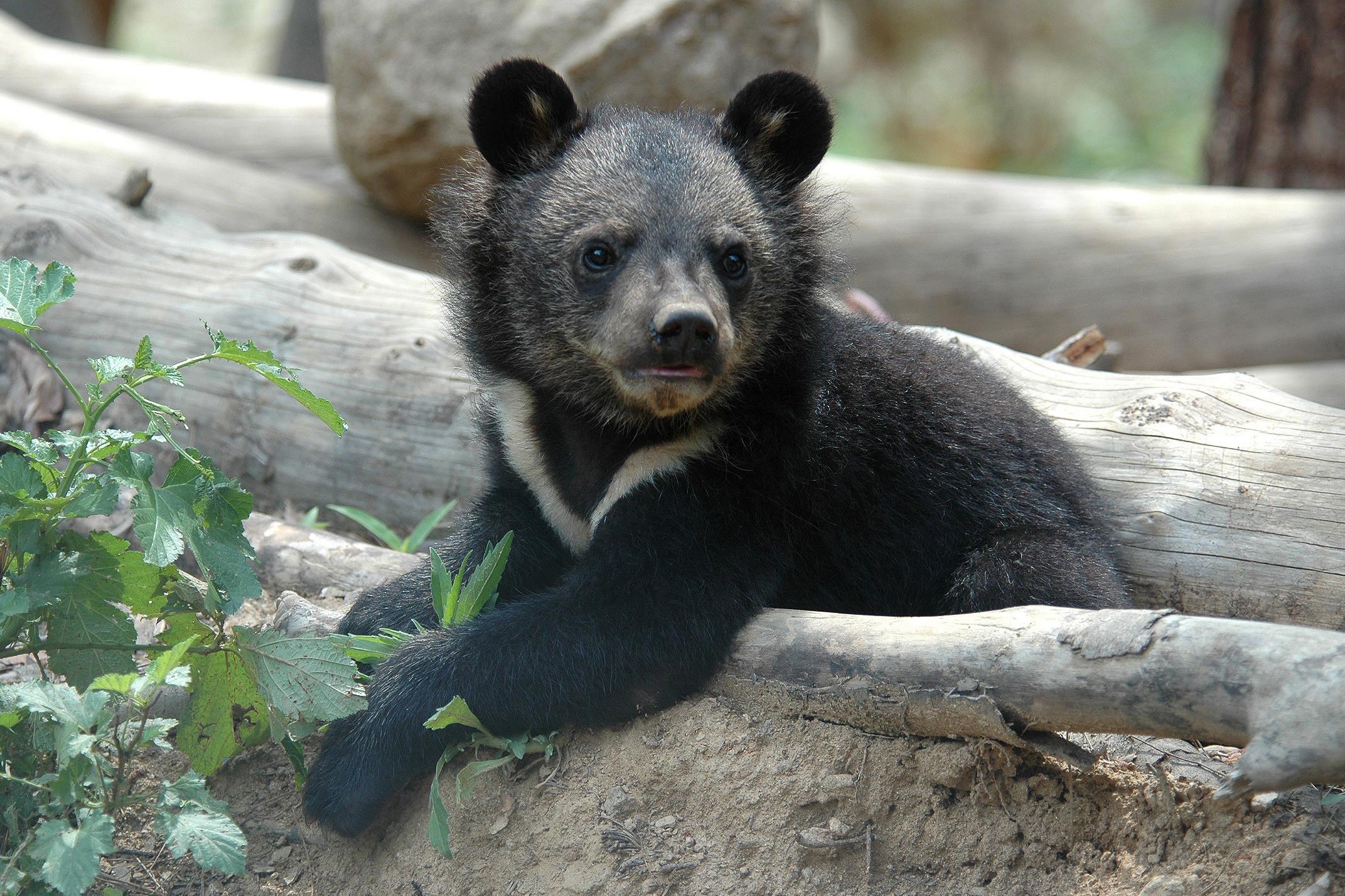 Ending the bear bile industry