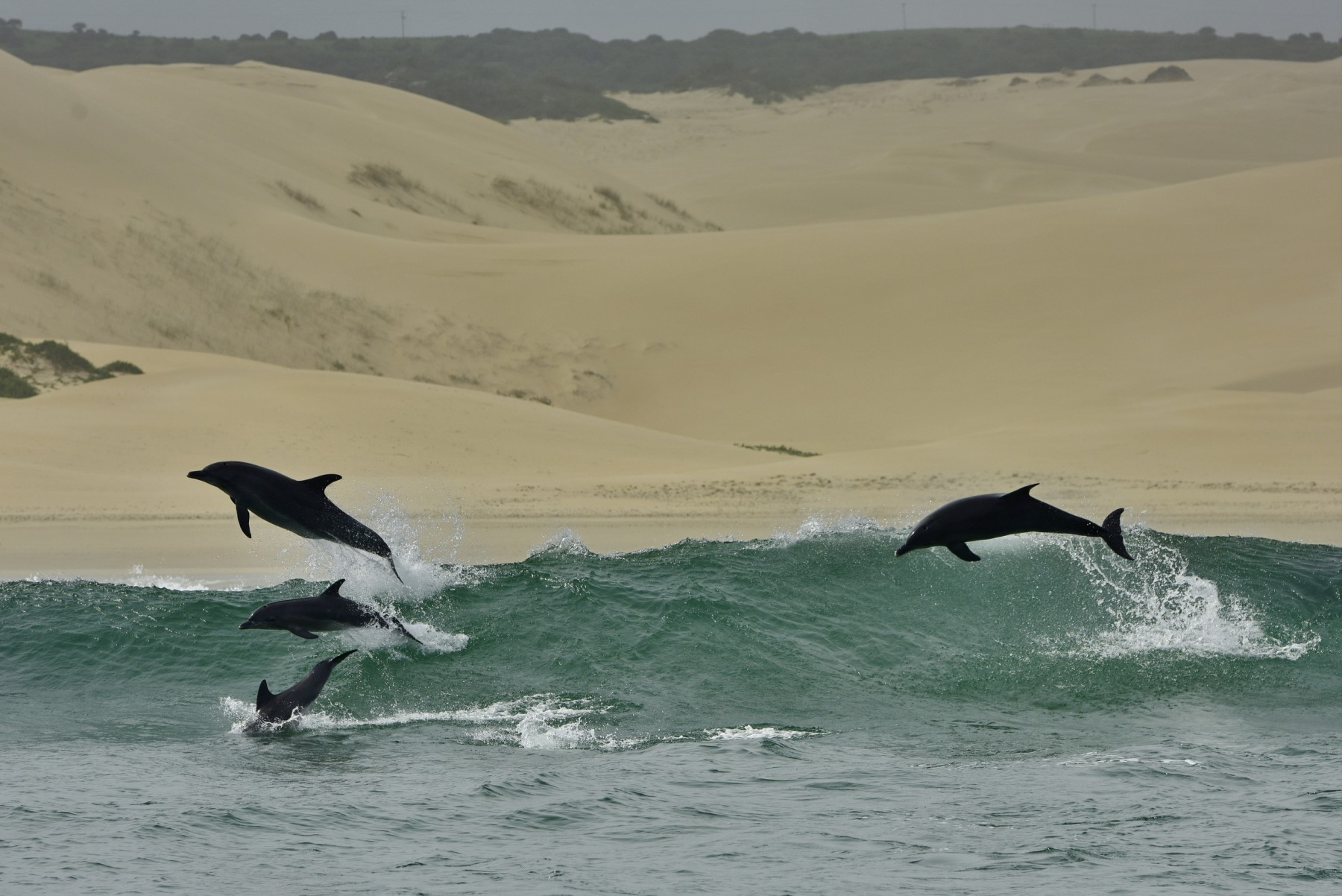 Dolphins jumping out of the water at Algoa Bay