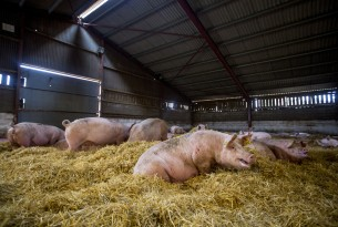 A higher welfare indoor pig farm in the UK